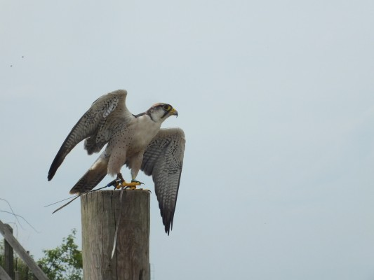 raptor_photography_day_348